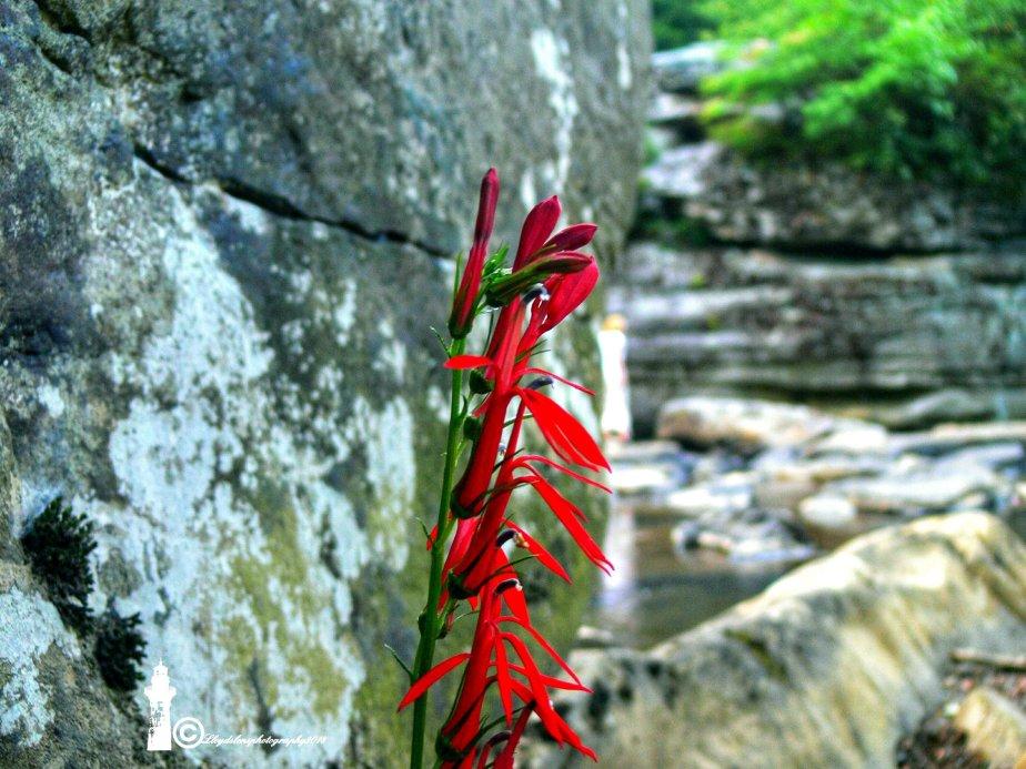 Cardinal Flowers and a newmyth