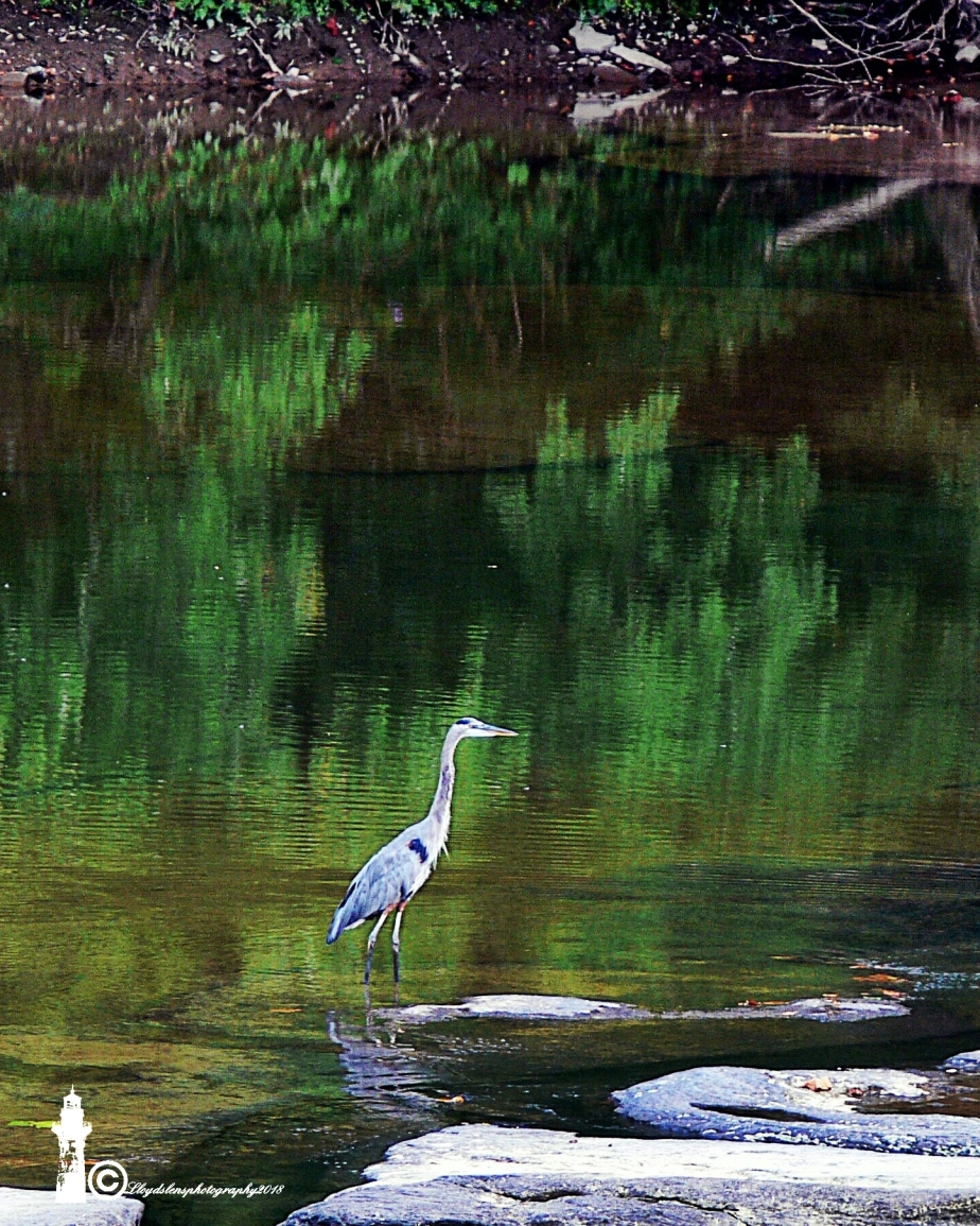 Great Blue Heron On The GauleyRiver.