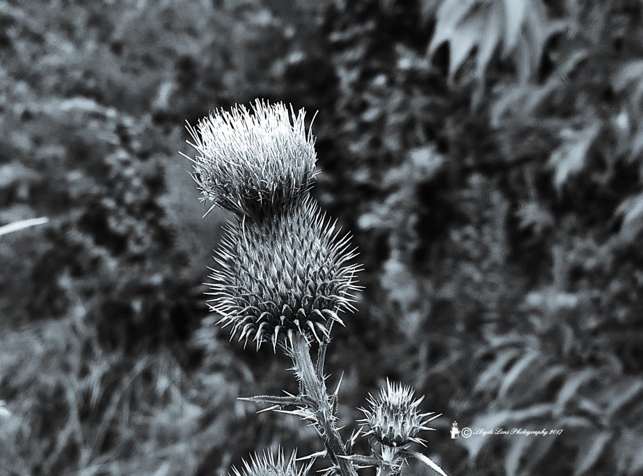 Thistle In Black and White