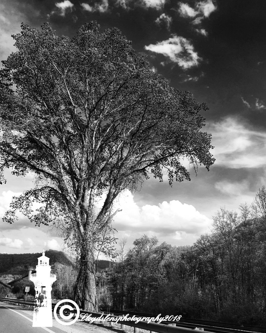The Big Old Tree On Route60