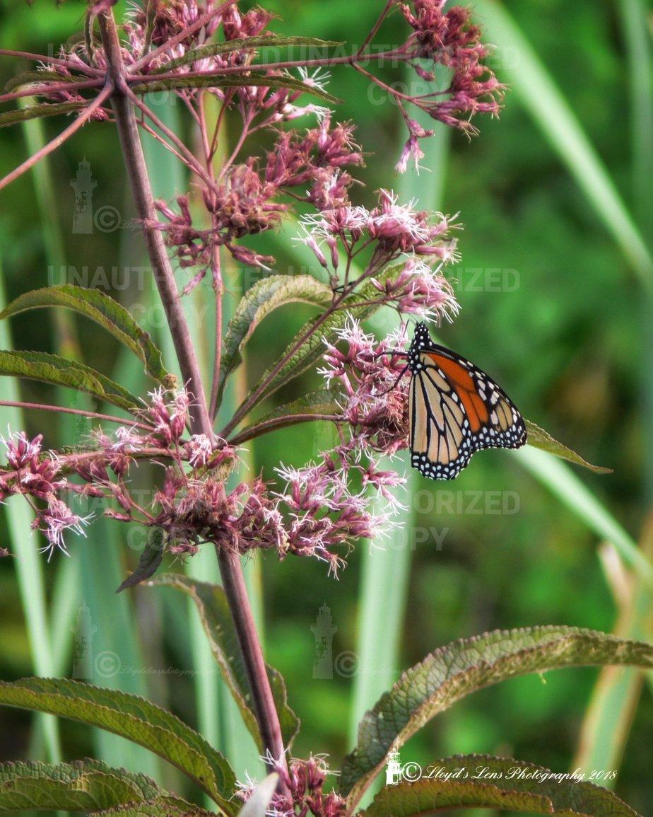 Visiting A Monarch In The FadingSun