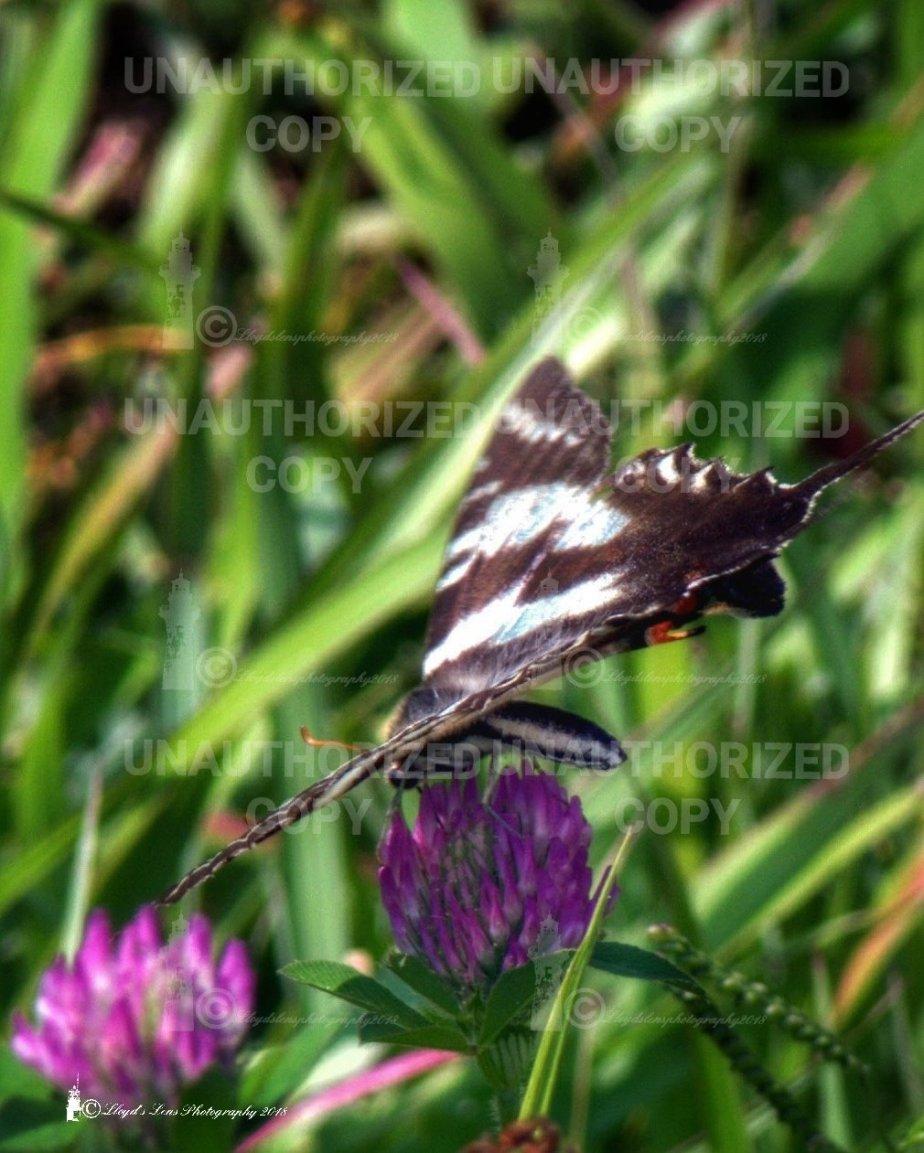The Zebra SwallowtailButterfly