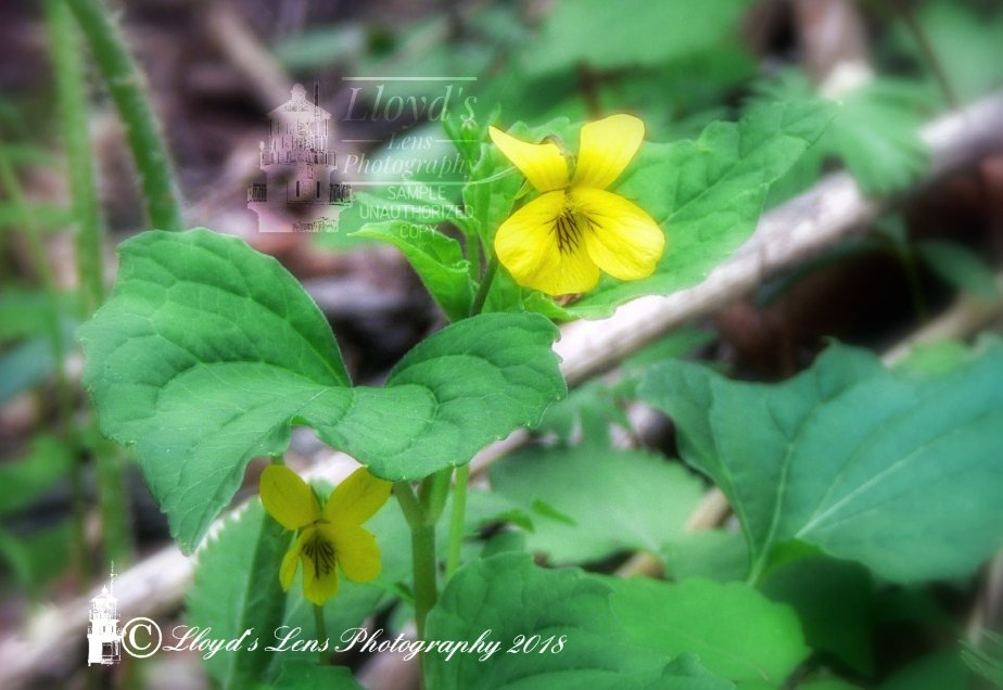 Wood Violets  Forage Friday 2