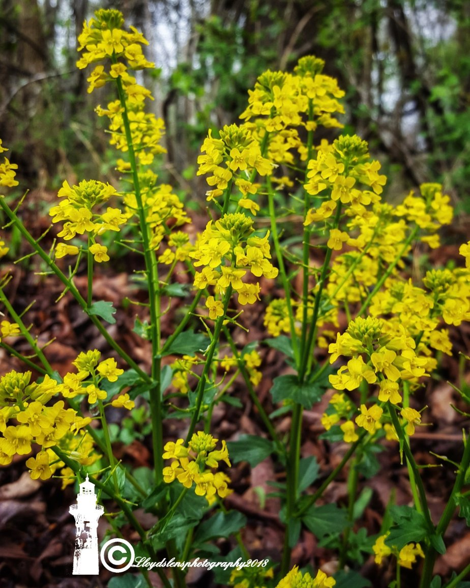 Forage Friday #6 Wild Mustard.