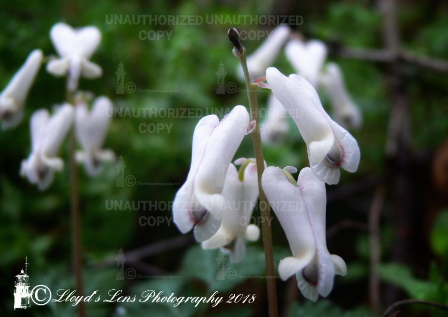 Squirrel Corn..(continued from Dutchman's Breeches)