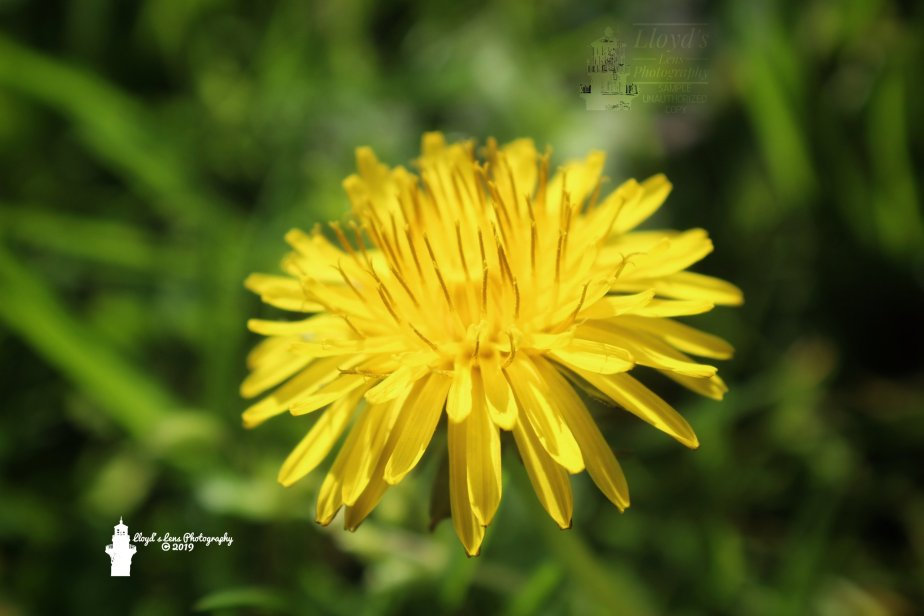 Forage Friday 5… Dandelion