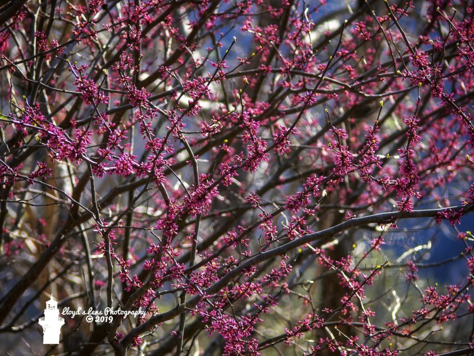 Forage Friday 3.. Redbud
