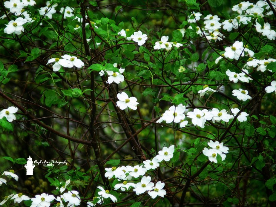 Dogwood, A True Mountain Beauty