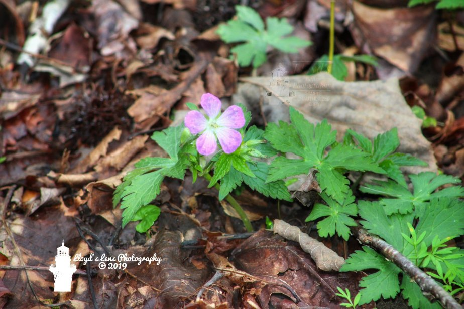Wild Geranium & Morning Quiet Time