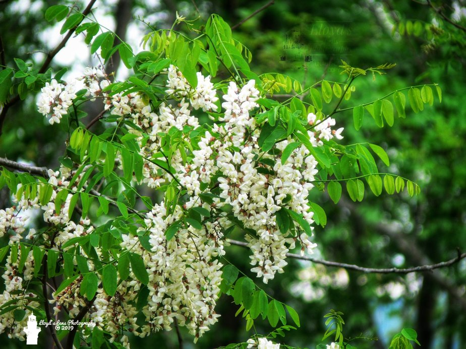 Forage Friday #8 – Black Locust Flowers