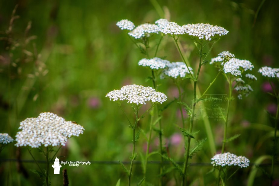 Forage Friday #11 Yarrow
