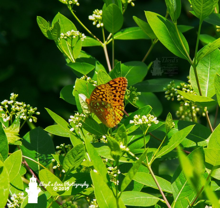 The Great Spangled Fritillary
