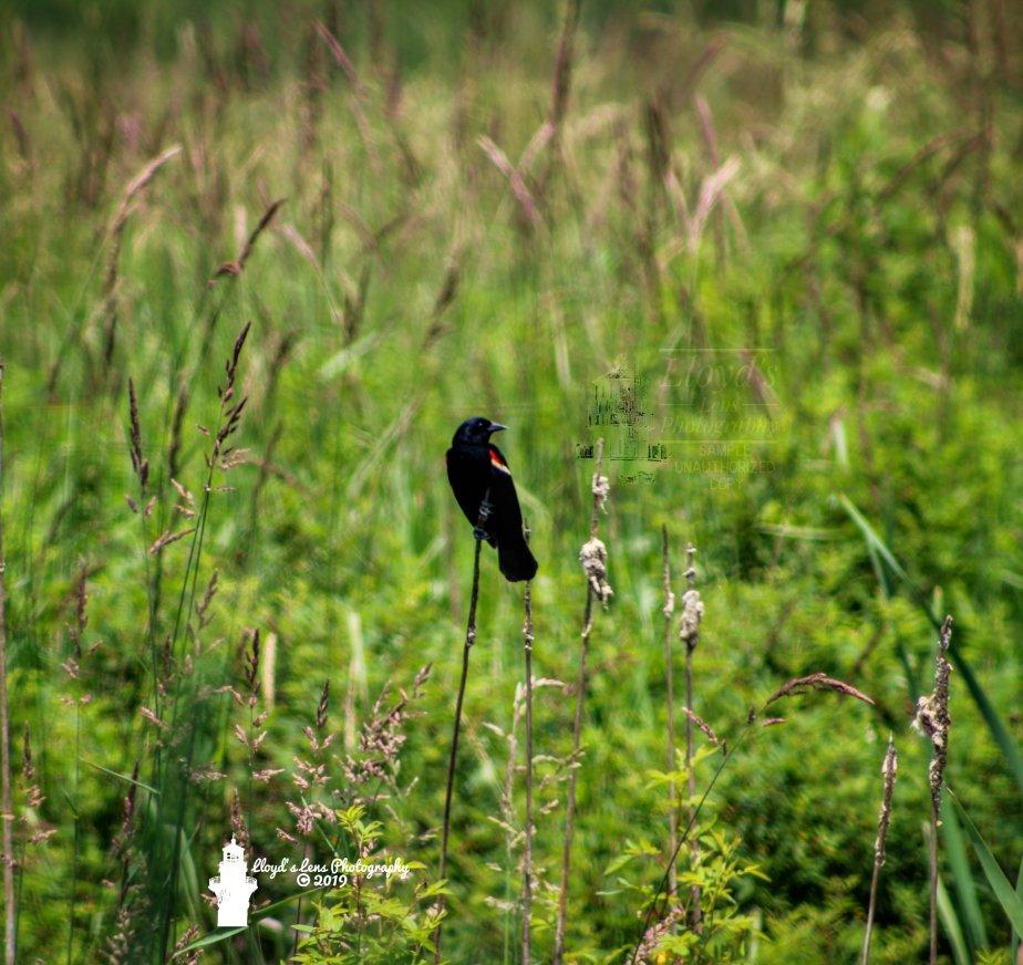 Red-winged Blackbird & A Childhood GoalAchieved
