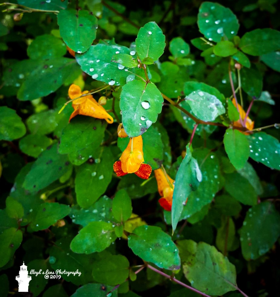 Forage Friday #16 Jewelweed or Touch-Me-Not