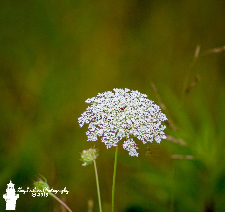 Forage Friday #15 – Queen Anne's Lace