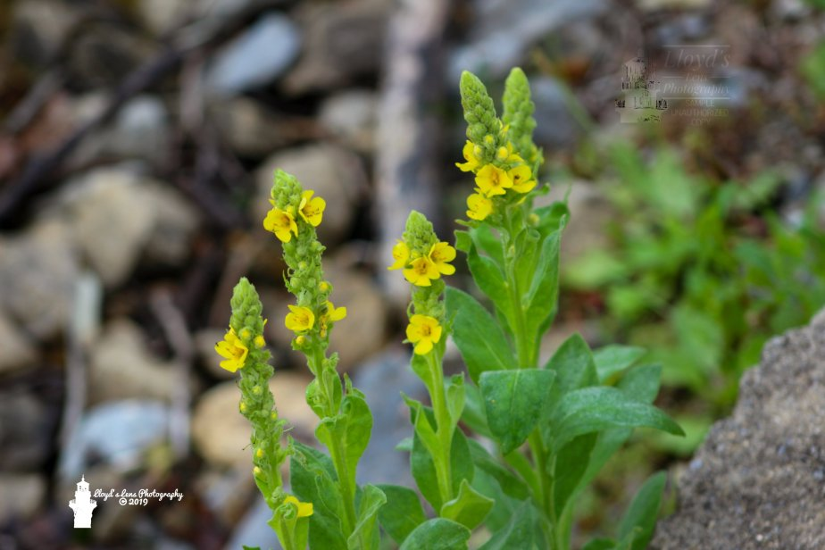 Forage Friday #17 Mullein