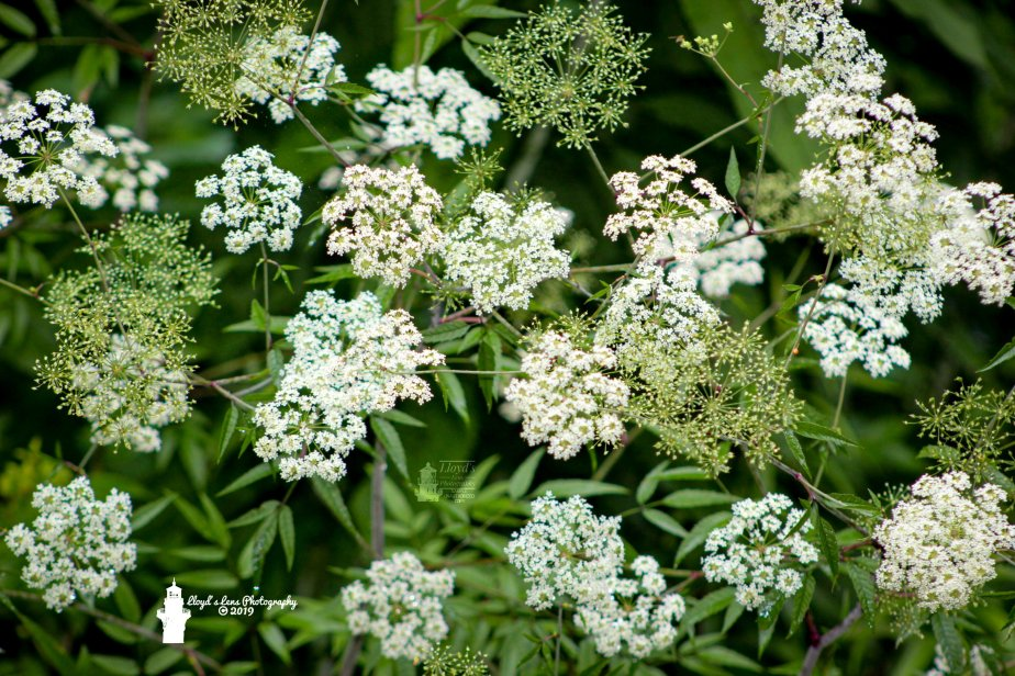 Forage Friday #21 Water Hemlock