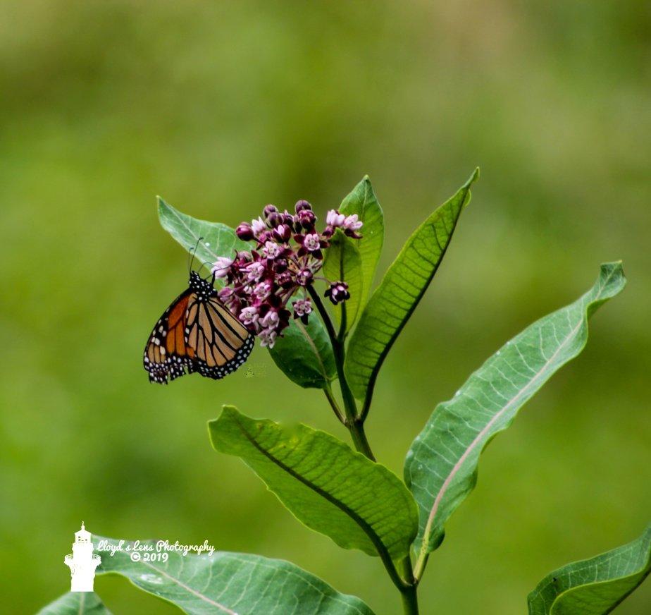 Are The MonarchsReturning?