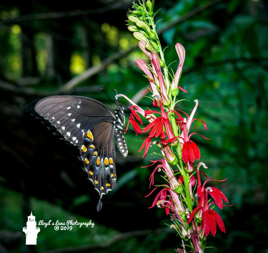 The Spicebush Swallowtail Finally Makes It's Appearance