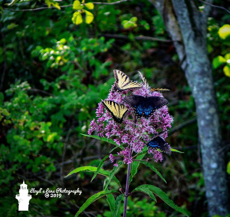 Forage Friday #20 Joe Pye Weed