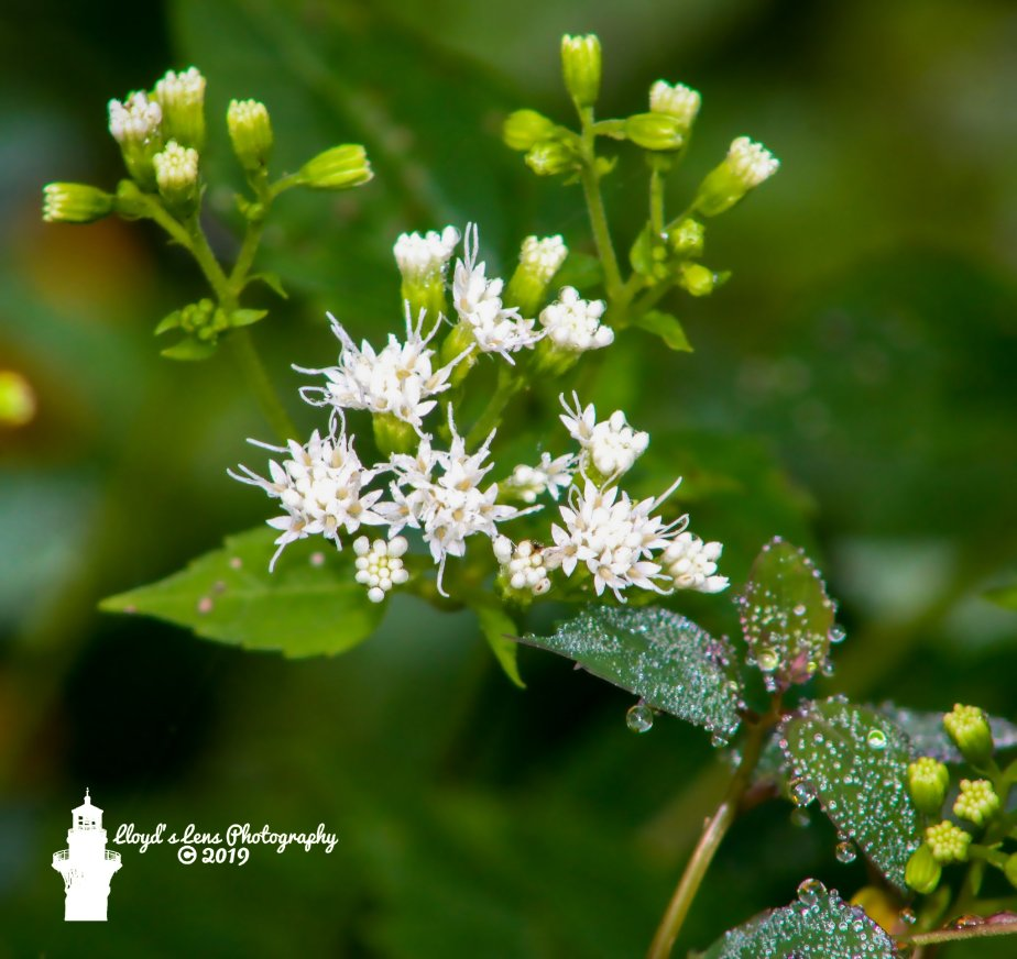 White Snakeroot In Morning Dew.