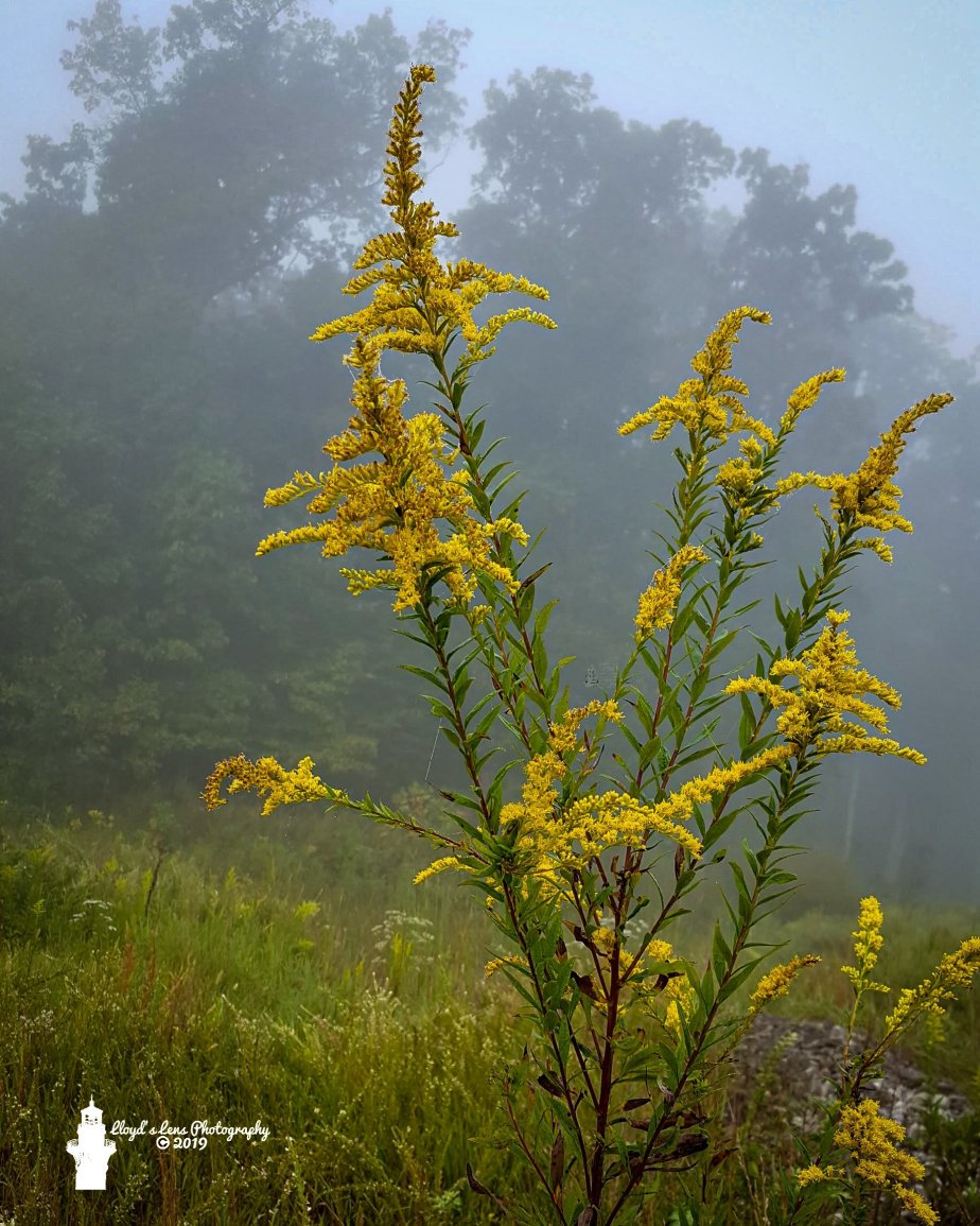 Forage Friday #25 Goldenrod