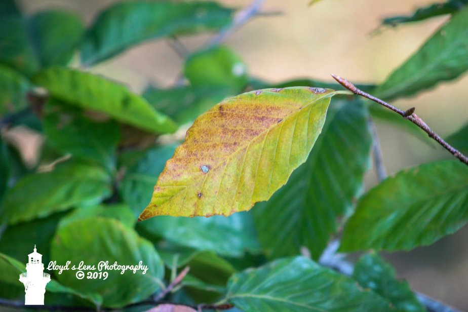 Forage Friday #29 American Beech