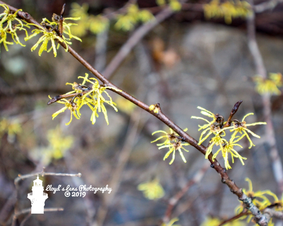 Forage Friday #37 Witch Hazel