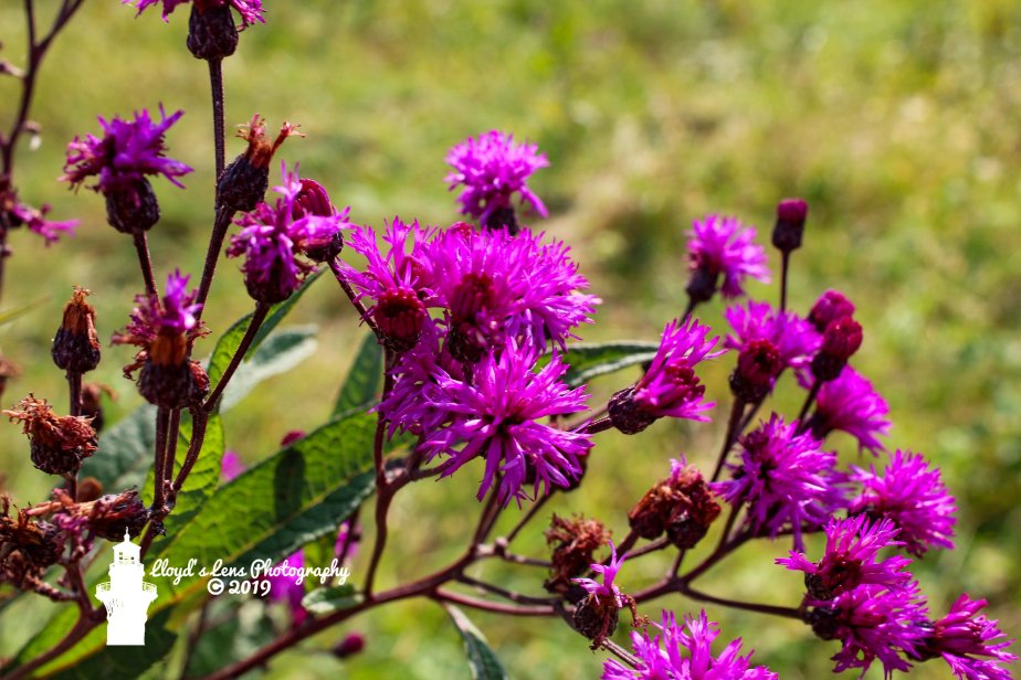 Ironweed,  Honeybees & Staying Warm In Winter