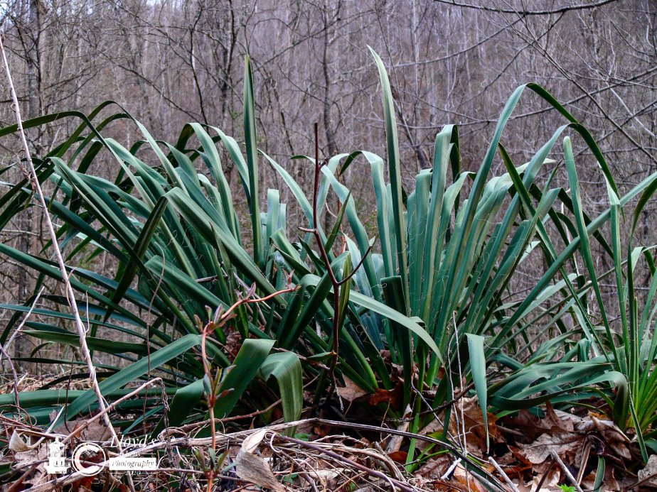 Forage Friday #49 Adam's Needle (AKA YUCCA)