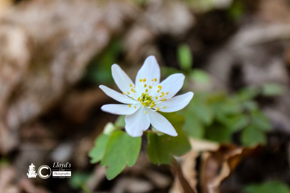 False Rue Anemone In The Afternoon.