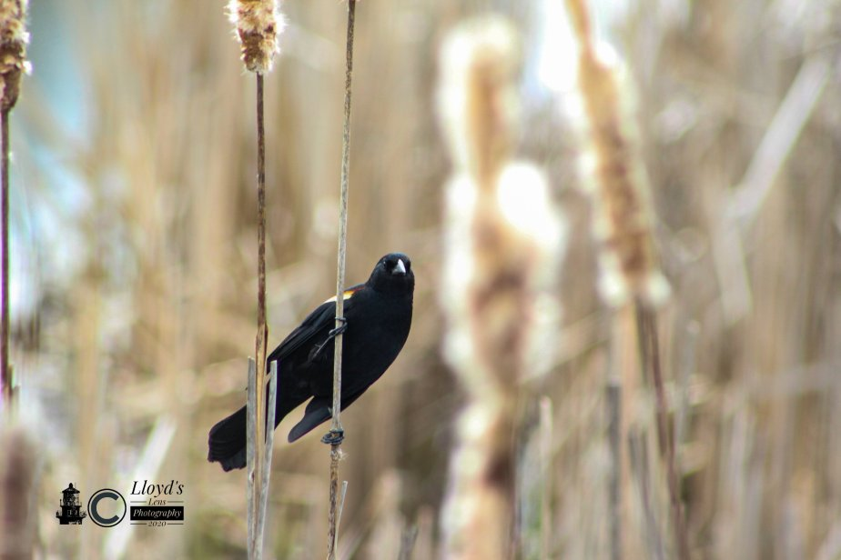 Red-winged Blackbirds Of April2020