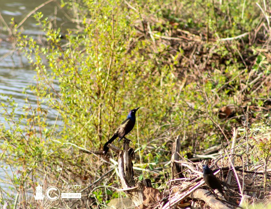 Common Grackle Encounter