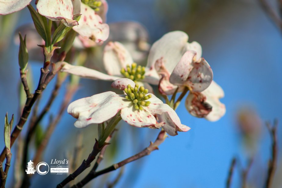 Dogwood And Memories