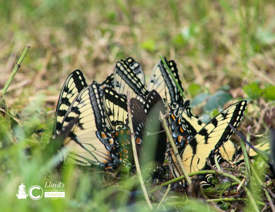 The Swallowtail Yard Party, Memorial Day Weekend 2020