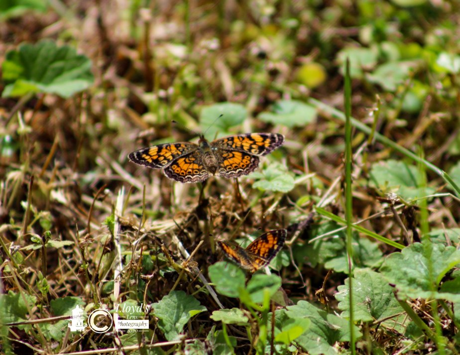 The Courtship Dance Of The CrescentButterflies