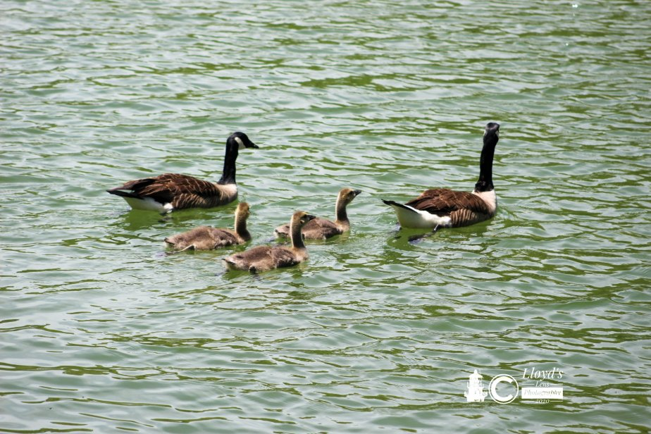 A Day With The Goslings
