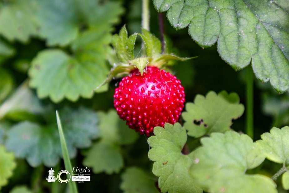 Forage Friday #61 Mock Strawberry