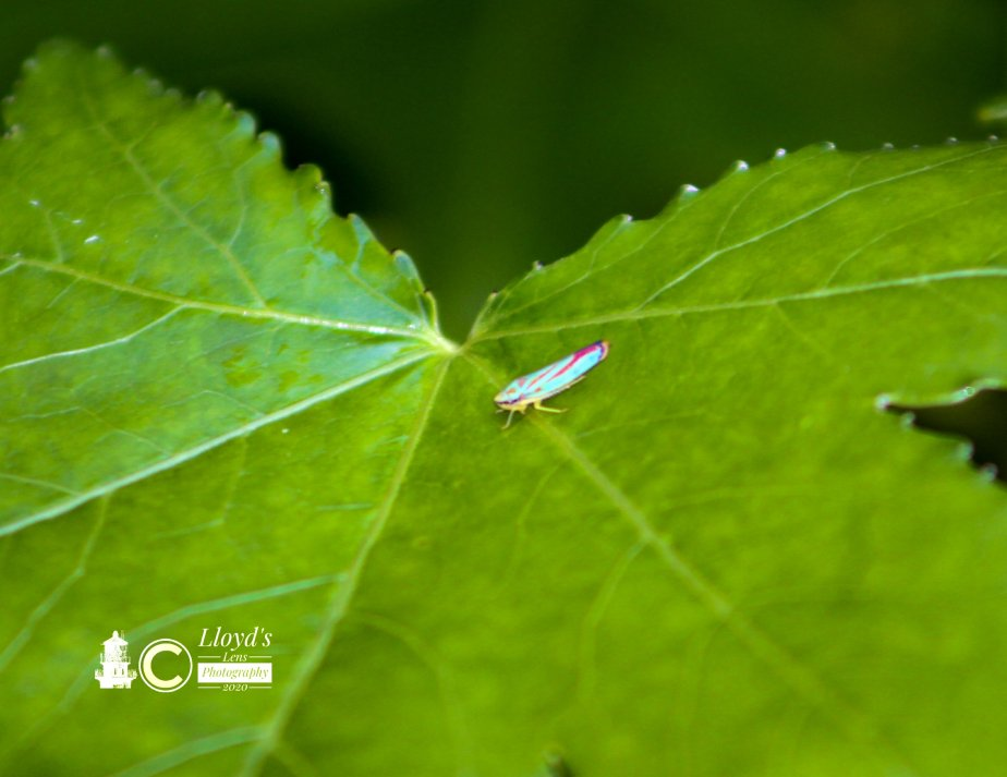 Leafhoppers And The Box Fan Trick.