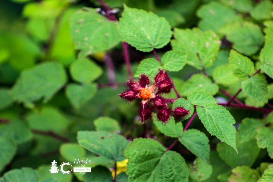Forage Friday #63 Wineberry
