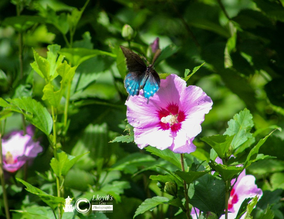 The Male Pipevine Swallowtail Encounter On July 26th.