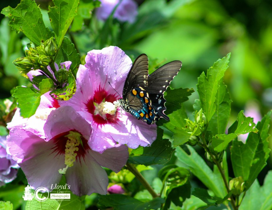 Dutchman's Pipe & The Pipevine Swallowtail.