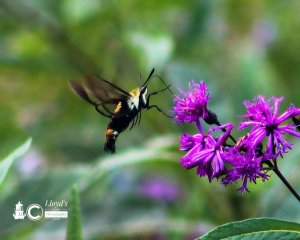 A Snowberry Clearwing Moth visiting ironweed.