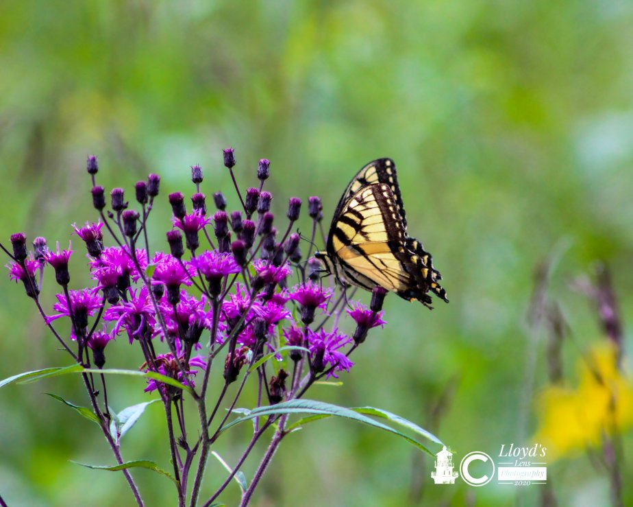 A Short Visit with a TigerSwallowtail