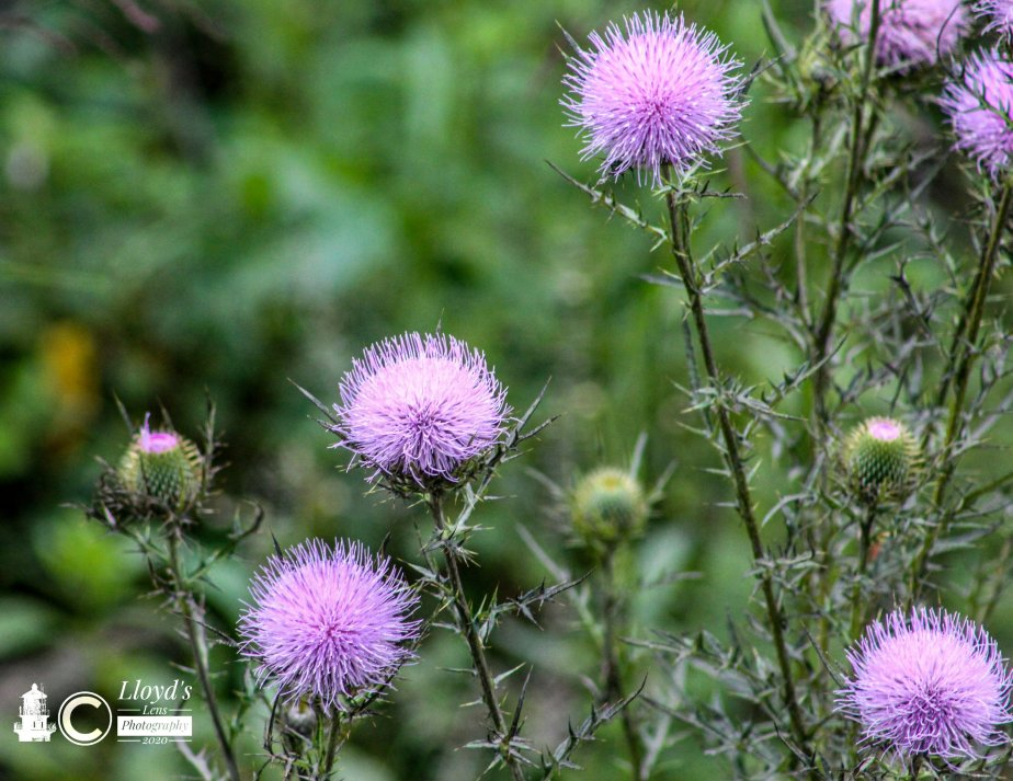 Forage Friday #74 Thistle