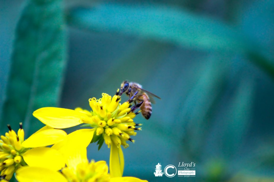 An Observation Of Honeybees And Wingstem