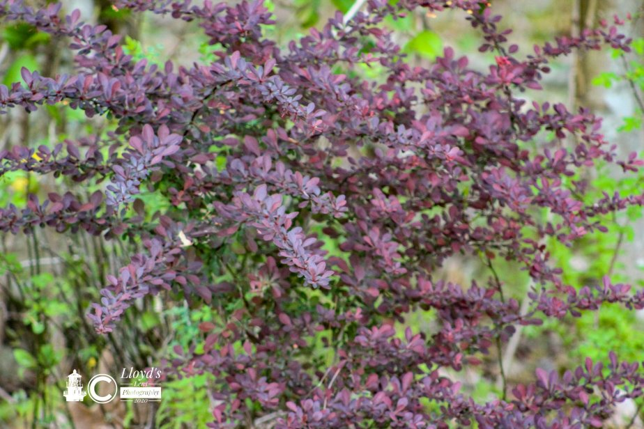 Forage Friday #75Barberry
