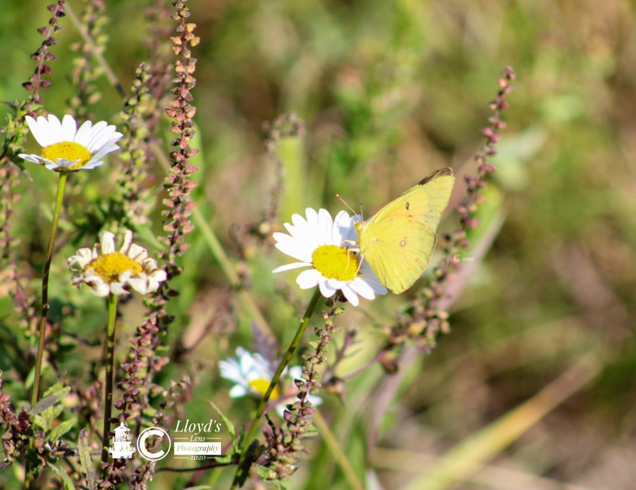 Orange Sulphur Butterfly On TheSpillway