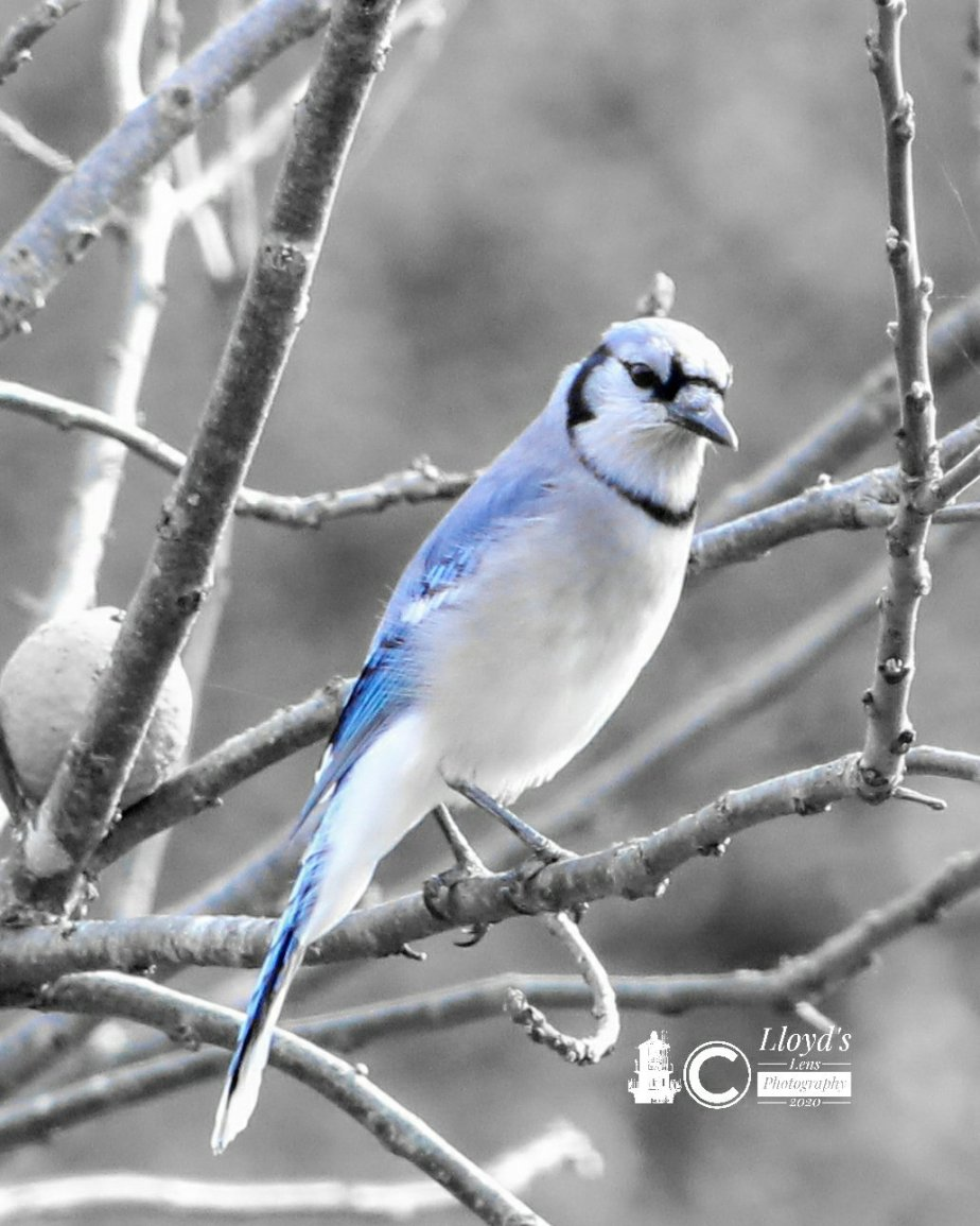 The October Blue Jay Encounter