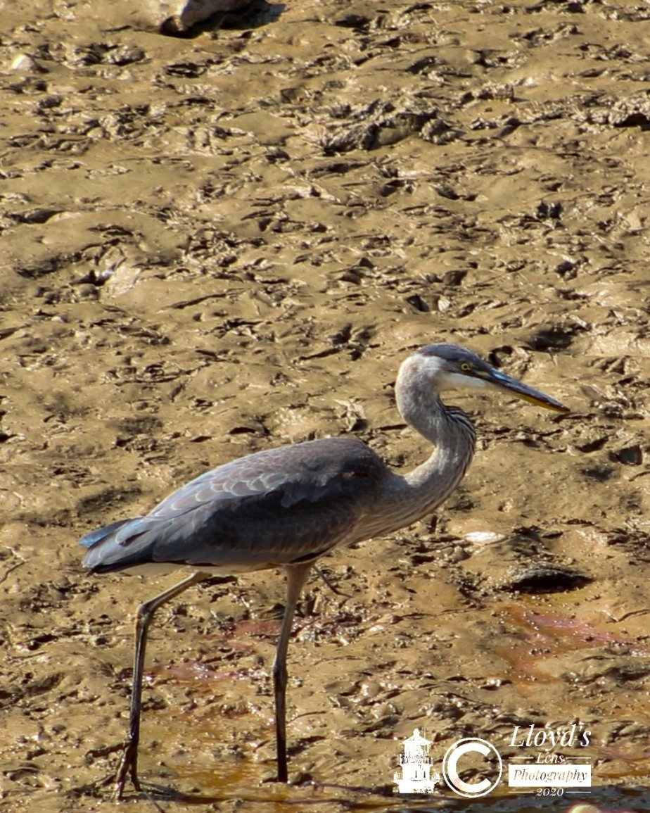 The Great Blue Heron Of October 2020